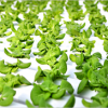 Hydroponic City Farms: Close, Fresh and Expensive